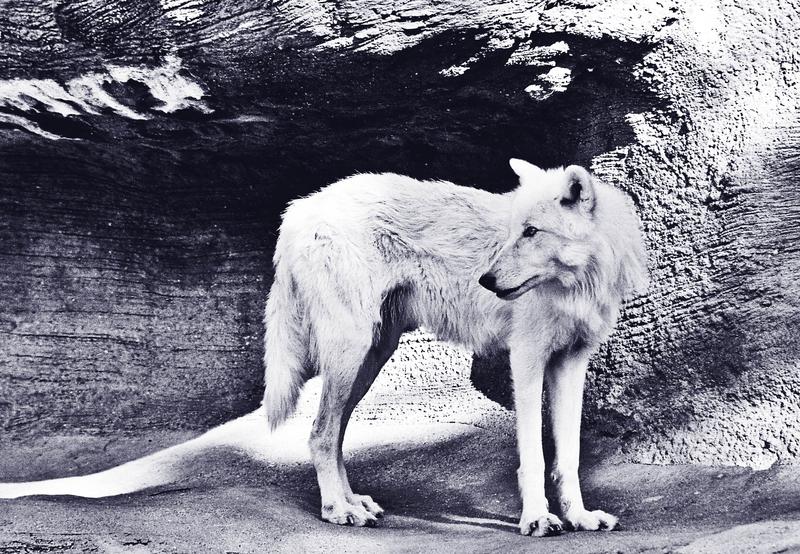 Ein Schattenwolf? Bild: Pseudografin/photocase.de